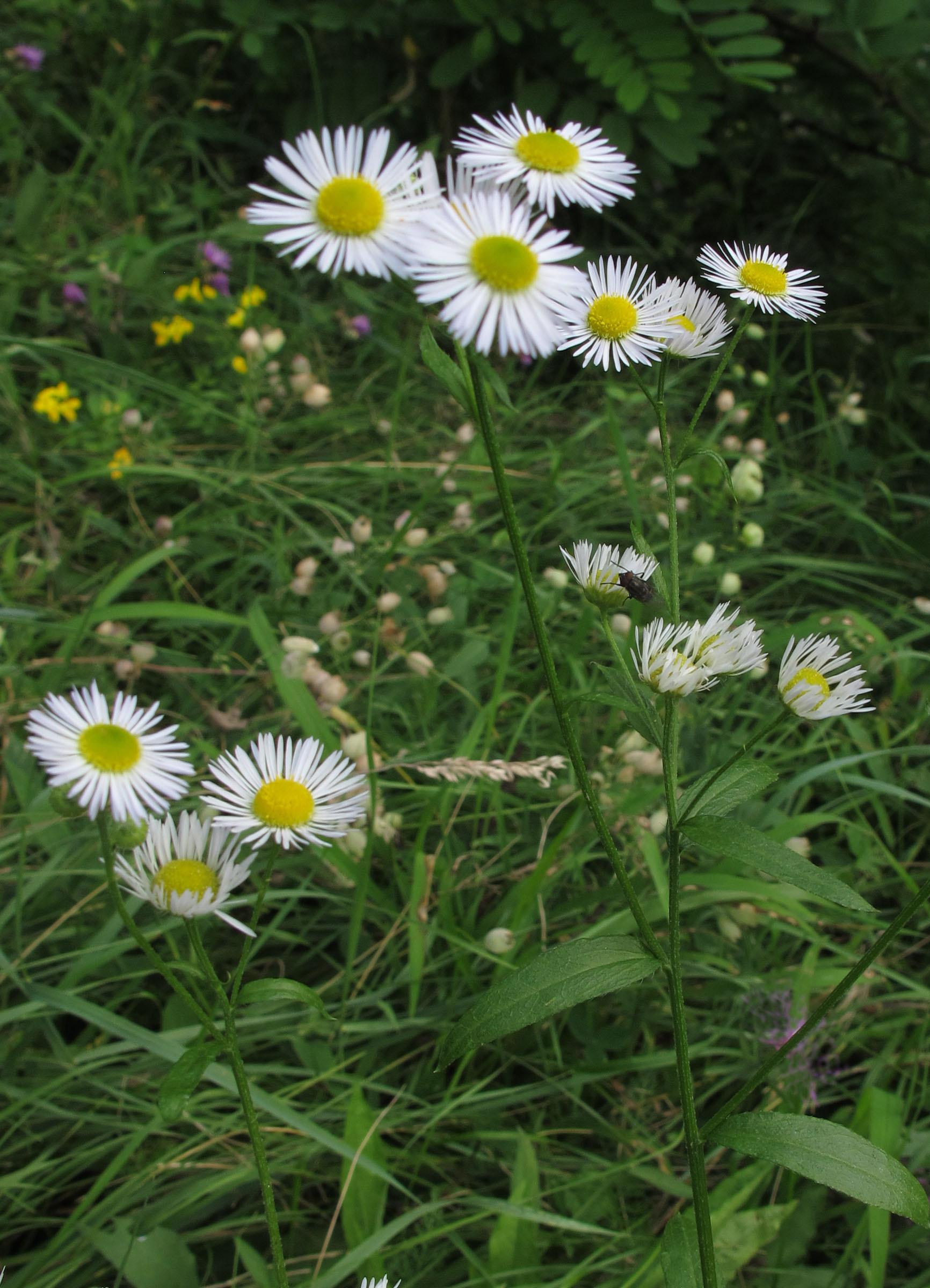 Bilder neophyten for Bilder pflanzen